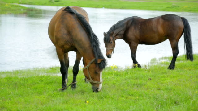 pferde grasen auf der wiese in der nähe von fluss - braun stock-videos und b-roll-filmmaterial