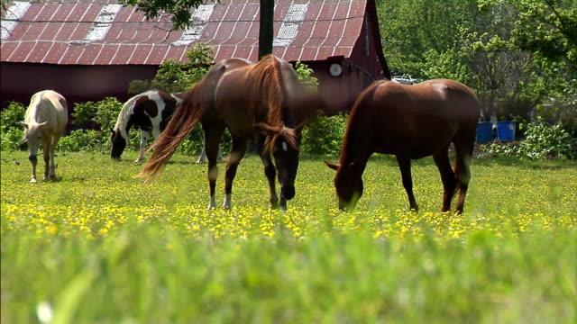 cavalli al pascolo  - cavalla video stock e b–roll