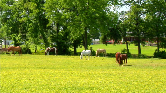 cavalli al pascolo  - stallone video stock e b–roll