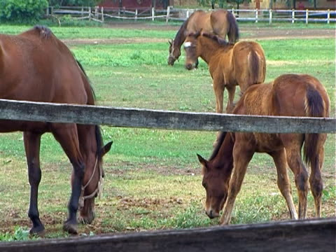 Horses Grazing Horses and foals grazing on peaceful spring morning. NTSC. mare stock videos & royalty-free footage