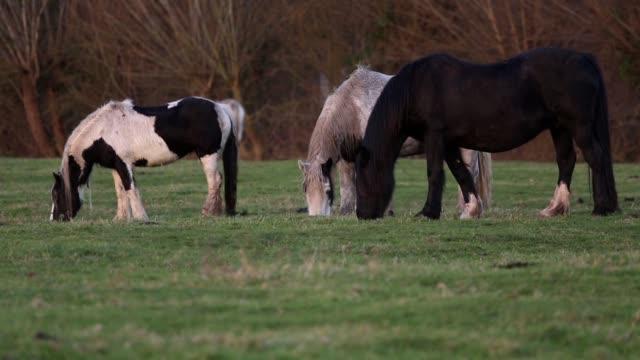 betande hästar - morrhår bildbanksvideor och videomaterial från bakom kulisserna