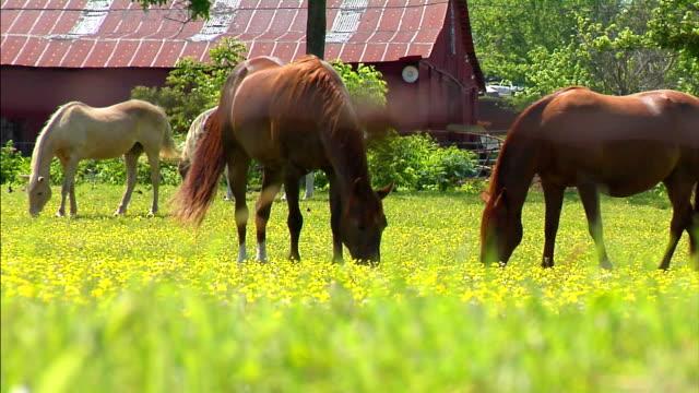 cavalli in campo  - stallone video stock e b–roll