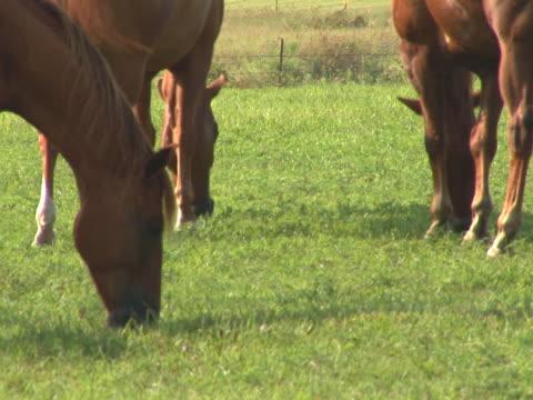 pal: pferde in der pasture - pferdeartige stock-videos und b-roll-filmmaterial