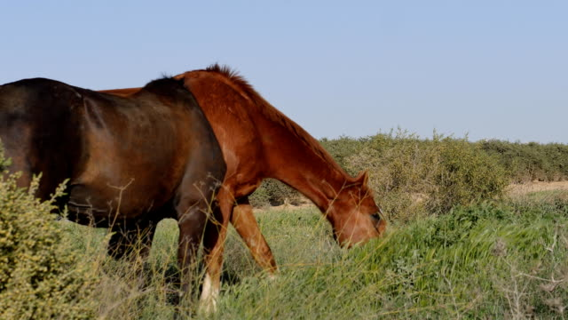 horses in the pasture eating grass video