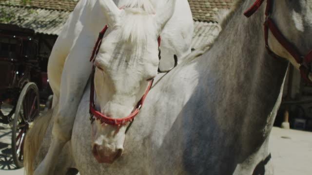 cavalli di accoppiamento - stallone video stock e b–roll