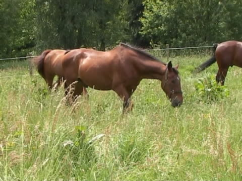 pferde auf überwachsen field - hengst stock-videos und b-roll-filmmaterial