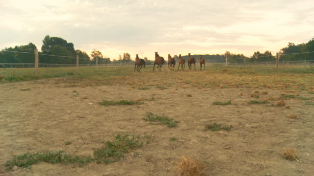gru hd: cavalli in esecuzione all'alba - stallone video stock e b–roll
