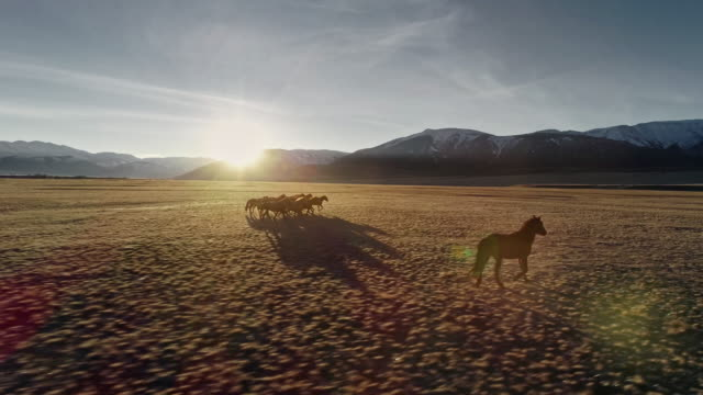 Horses running free in meadow with snow capped mountain backdrop Wild Horses Running. Herd of horses running on the steppes in the background mountain. Sunset. Slow motion mustang wild horse stock videos & royalty-free footage