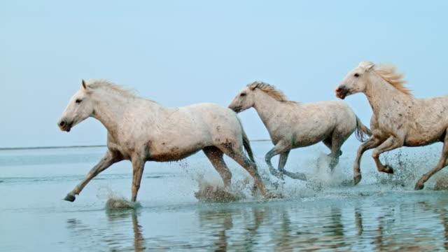 slo mo cavalli che corrono in acque poco profonde sulla spiaggia - fauna selvatica video stock e b–roll