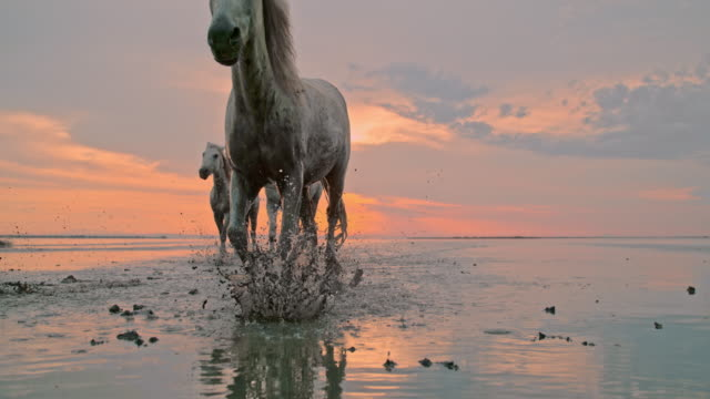 SLO MO Horses running on the beach at sunset Super slow motion shot of a herd of horses running in shallow water on the beacht at sunset. The Camargue National Reserve. France. Europe. provence alpes cote d'azur stock videos & royalty-free footage