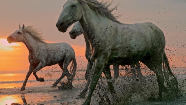 vidéos et rushes de slo mo chevaux fonctionnant sur la plage au coucher du soleil - animaux à l'état sauvage