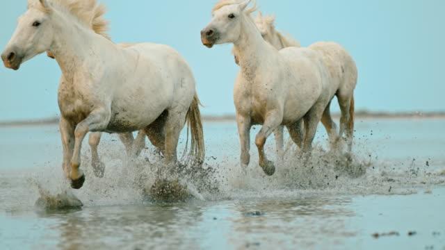 SLO MO Horses running on the beach