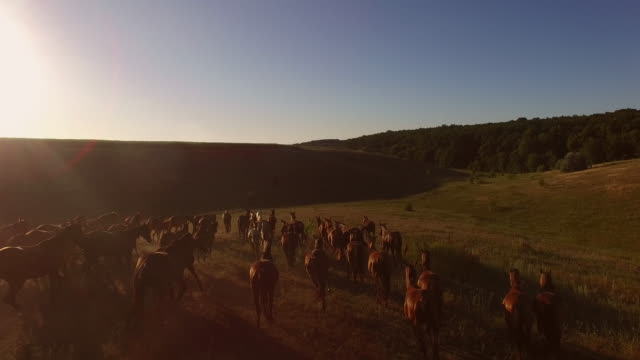 Horses running on the meadow. video