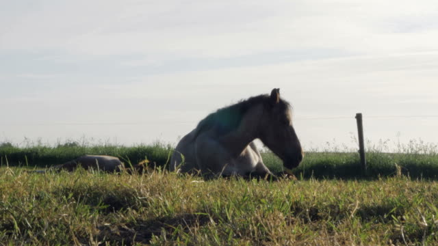 Horses sleeping in a a sunny field video