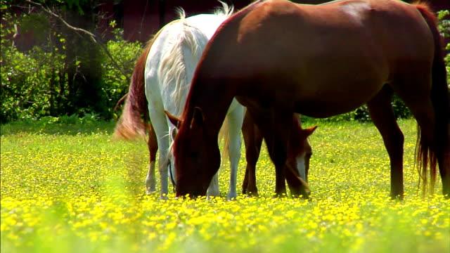 di cavalli  - stallone video stock e b–roll