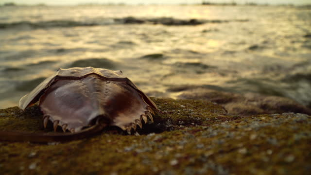 horseshoe crab or king crab on the rock beach. seascape and cloudscape on background. - horseshoe stock videos & royalty-free footage