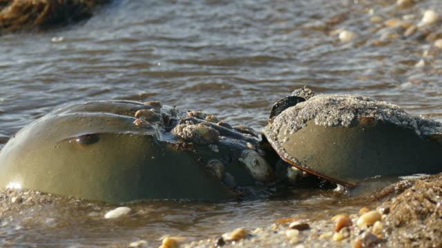 Horseshoe crabs closeup Slaughter Beach Delaware Bay waves video