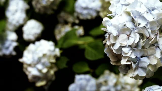 vídeos y material grabado en eventos de stock de hortensia árbol en el jardín botánico - bautizo