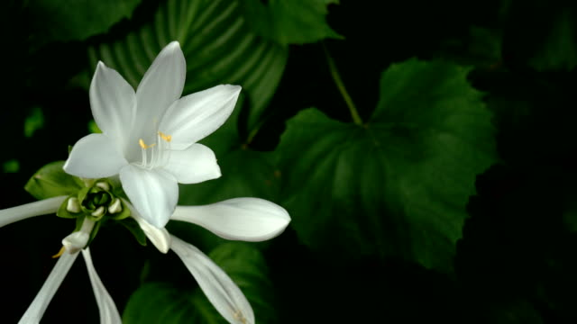 Hosta plantaginea or plantain lilies from the asparagaceae family with blooming flower.