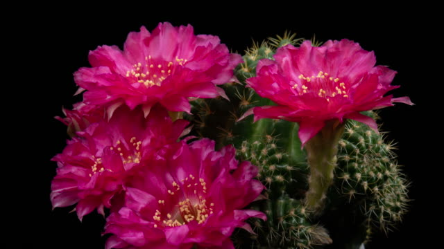 Hot Pink Cactus Time-lapse