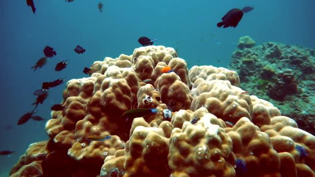 Hot Summer Coral Bommie Bleaching (Phylum Cnidaria) (Anthozoa) Environmental Damage due to Global Warming.  Ko Haa, Andaman Sea, Krabi, Thailand. video