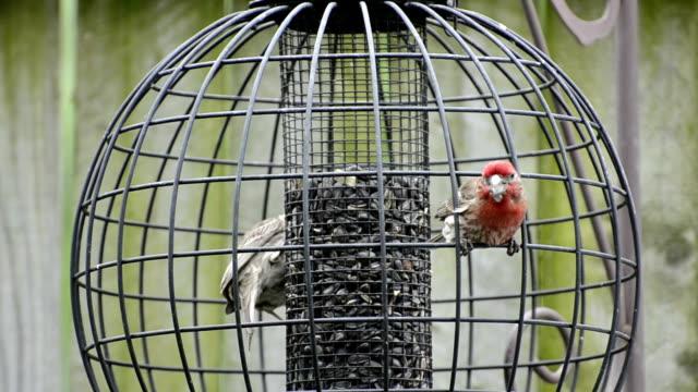 House finch pair at bird feeder video