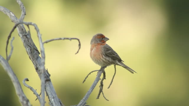 House Finch Red (HD 24p)