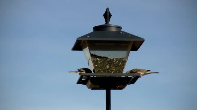 HD: House Finches at a Bird Feeder