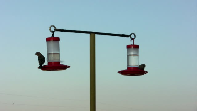 House Finches at Hummingbird Feeders