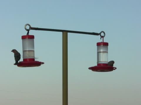 NTSC: House Finches at Hummingbird Feeders
