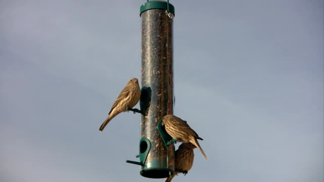 House Finches Eating at Bird Feeder