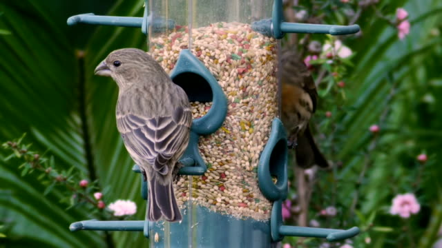 House Finches Fly Off Feeder (HD)