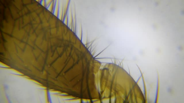 House Fly leg, magnified 100 times through microscope House fly leg microscopic footage arthropod stock videos & royalty-free footage