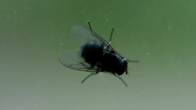 House Fly On A Window Macro video