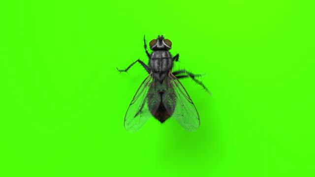 yeşil renk temiti üzerinde yürüyen ev sinek - sinek stok videoları ve detay görüntü çekimi
