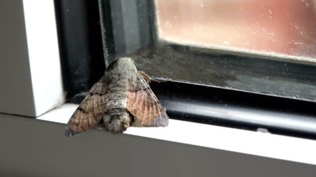 House moth closeup view video