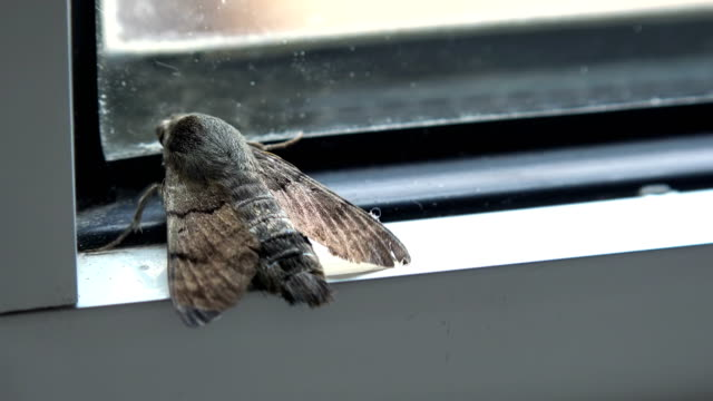 House Moth Insect, closeup video
