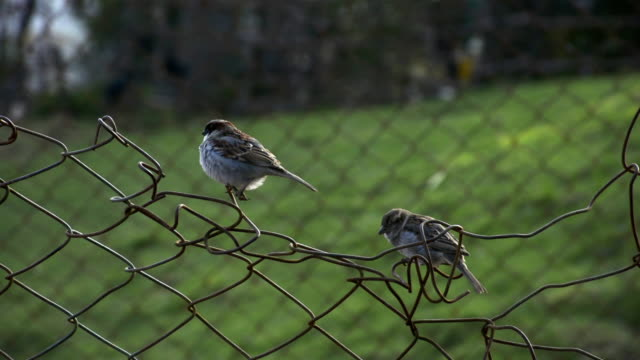 House Sparrow sitting on a fence video