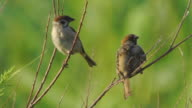 istock House sparrow (Passer domesticus) 1166315222
