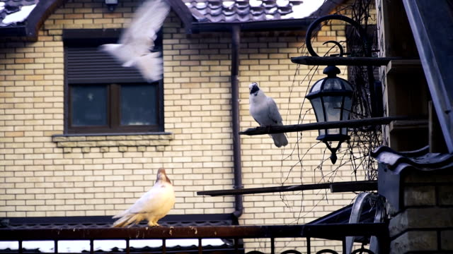 House with homemade white pigeons video