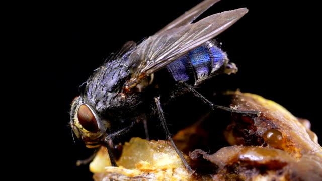 Housefly 01