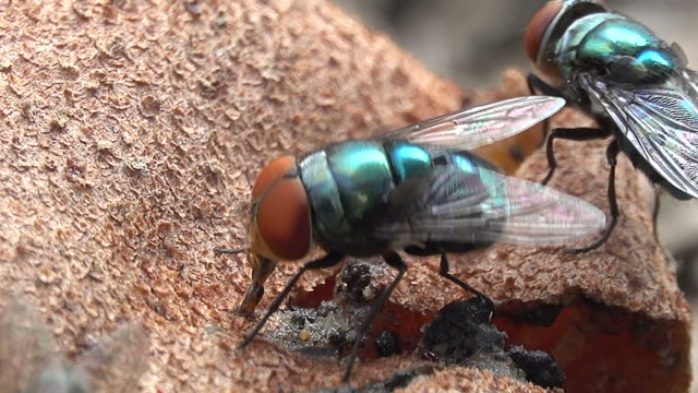 Housefly eating a fruit