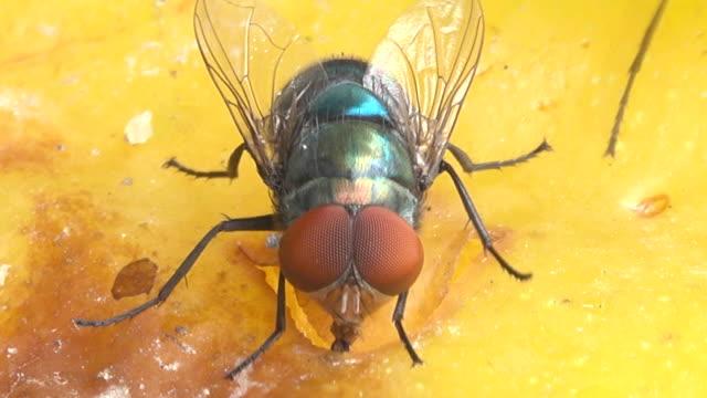 bir meyve yeme sinek - sinek stok videoları ve detay görüntü çekimi