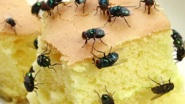 Housefly eating dessert