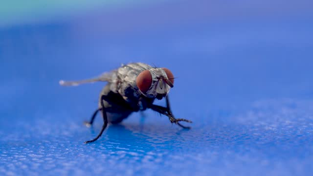 A housefly (Musca domestica) in the suborder Cyclorrhapha macro photography and footage on blue background.