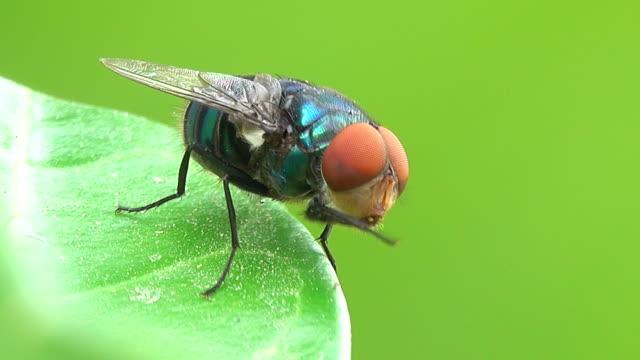 Housefly on a leaf