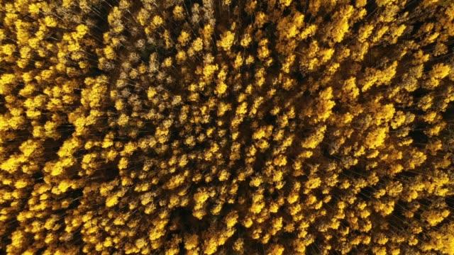 vídeos de stock, filmes e b-roll de pairando acima da floresta magnífica de aspens - condado de pitkin