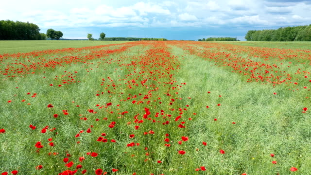 How birds see poppies