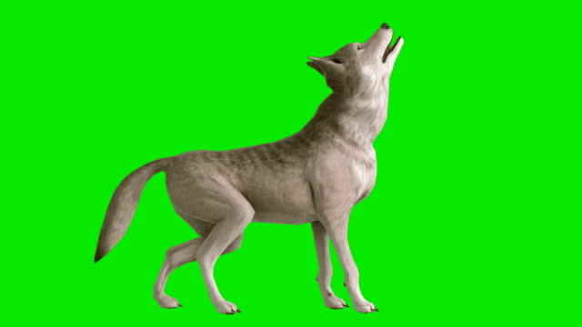 Howling Wolf Green Screen (Loopable) Design Element paw stock videos & royalty-free footage