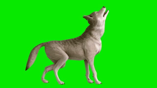 ylande varg grön skärm (loopable) - wolf bildbanksvideor och videomaterial från bakom kulisserna